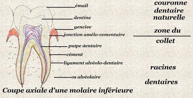 Anatomie de l'appareil digestif Anat1