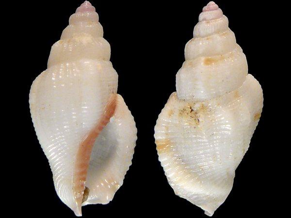 Canarium scalariforme - (Duclos, 1833) 8249