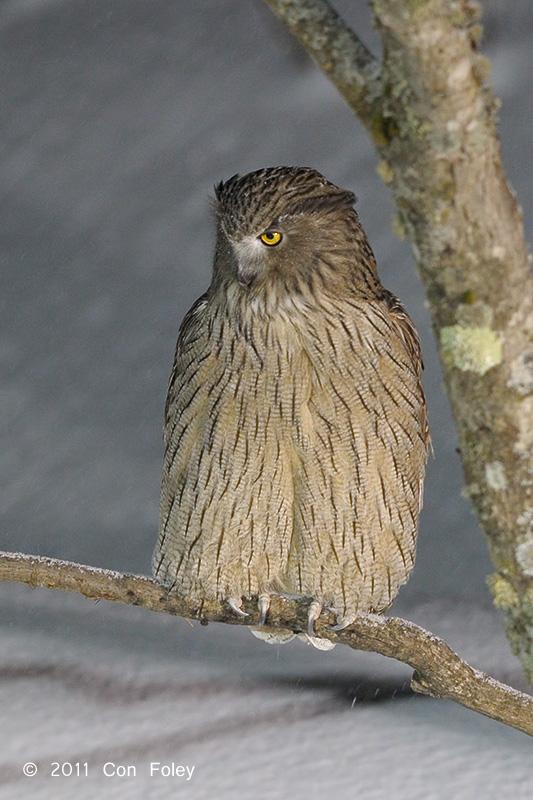 Strigformes: Famíla Strigidae- sub fam. Buteonidae. Género Ketupa (por vezes incluído em Bubo) Owl-Blakistons-Fish-DS6_2345.pbase_1