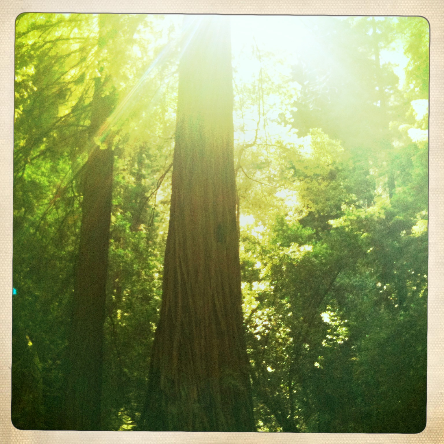 The Old Lady in the Cedar Forest… Old-lady-tree