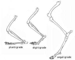 Dégriffage du chat Digitigrade-comparaison-300x243