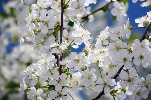 цветы - Весенние цветы I-436