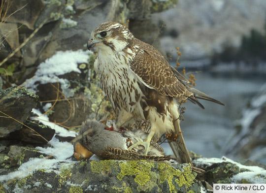 Falconiformes. sub Falconidae - sub fam Falconinae - gênero Falco - Página 2 RIK_042704_000128A_L