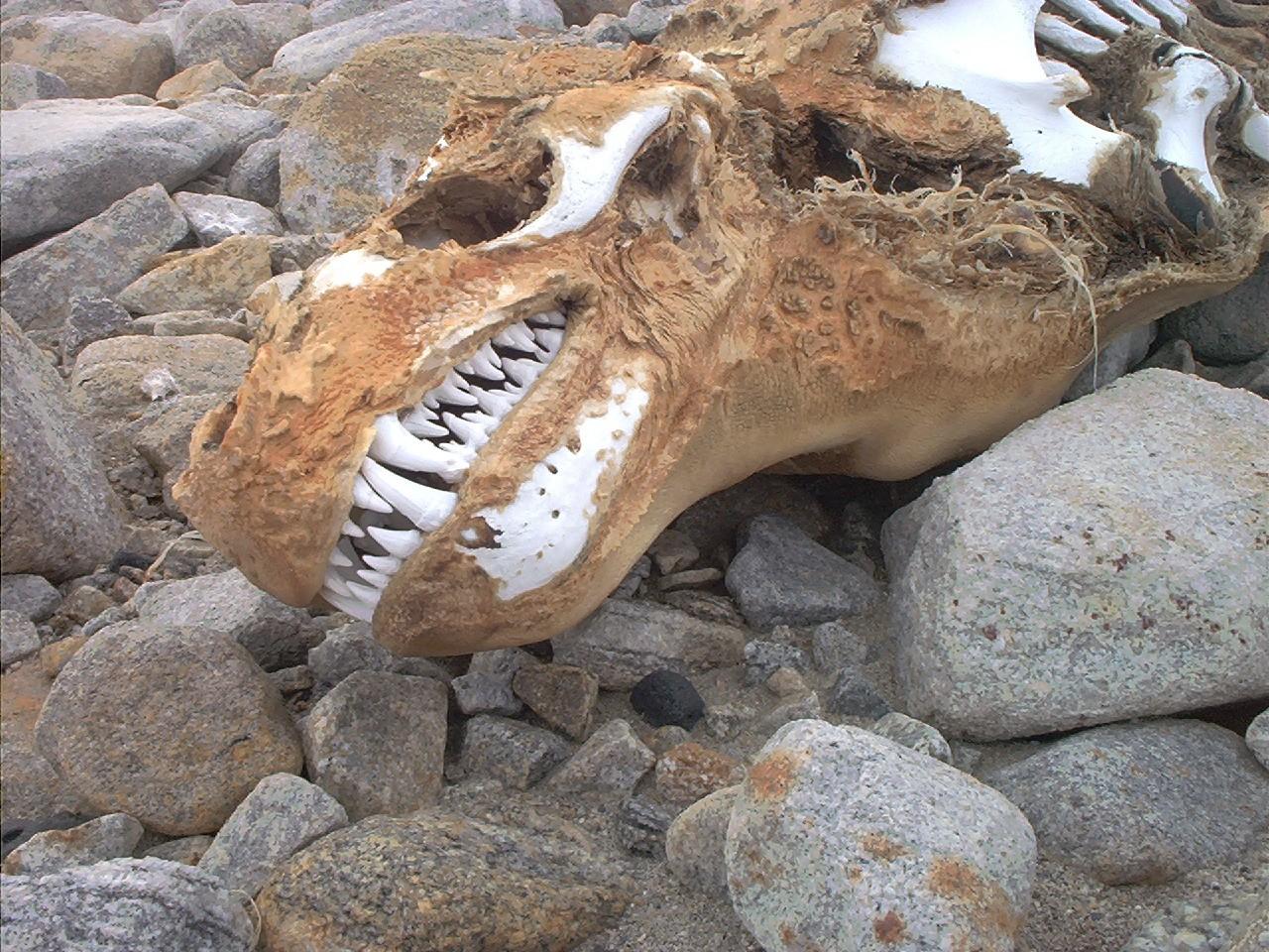 Leão Marinho VS Foca Leopardo LeopardSealSkull
