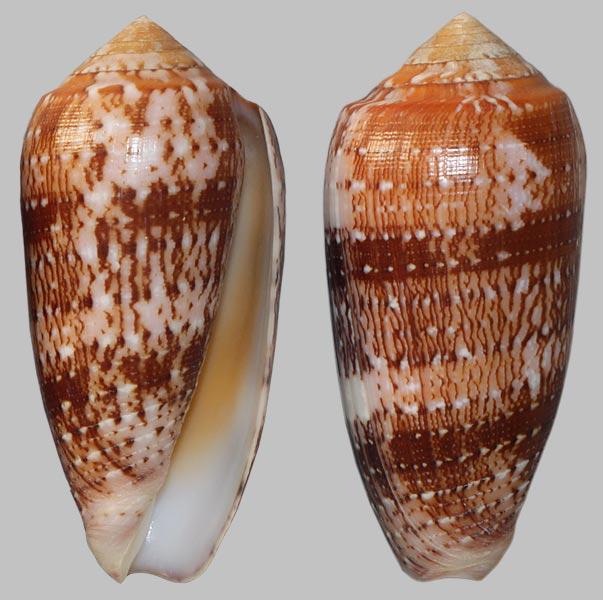 Conus (Pionoconus) floccatus   GB Sowerby I, 1841 - Page 3 Floccatus-64
