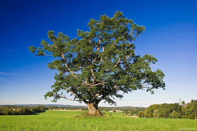 Mère Nature Old-oak