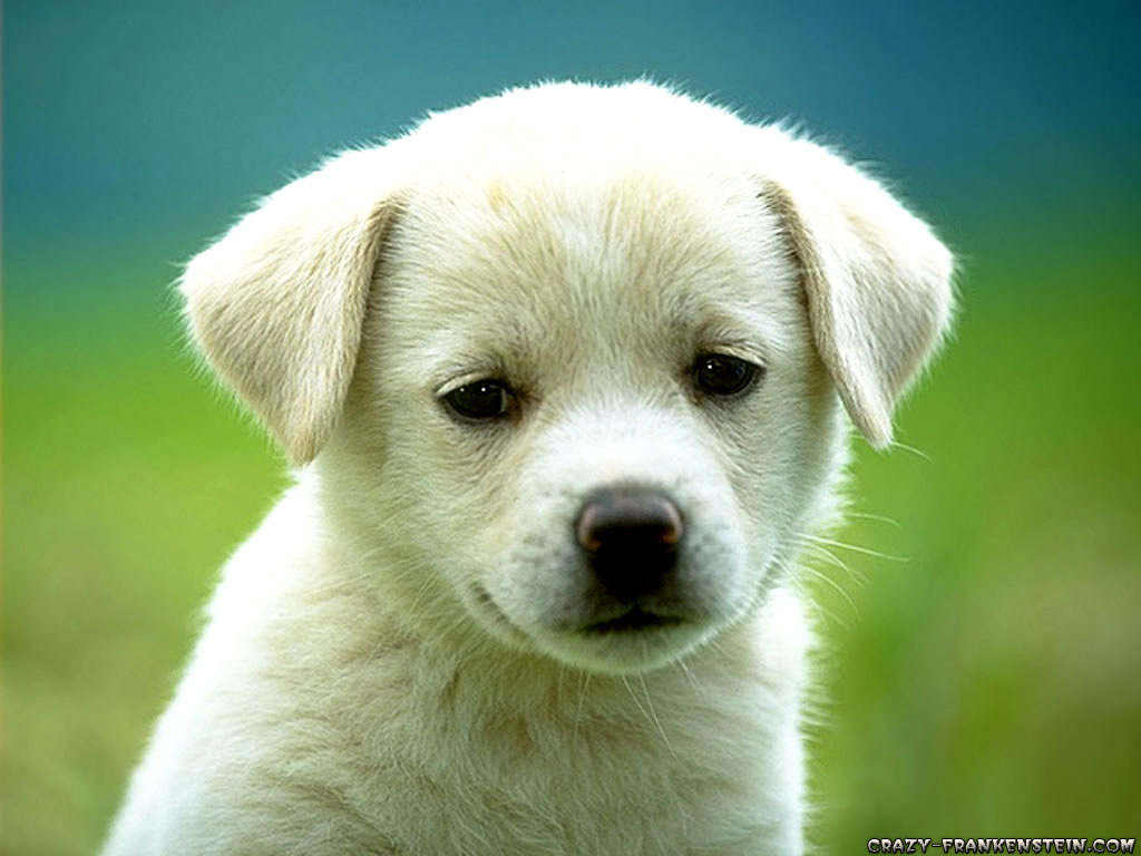 Wallpapers - Page 3 Cute-puppy-dog-wallpapers