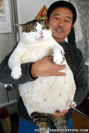 القطط الأكثر بدانة في العالم Big-fat-white-black-cat