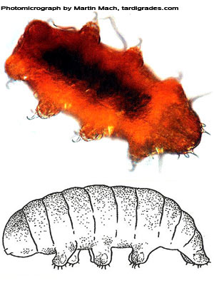 Tardigrade  extremophile with superpowers 432Echiniscus