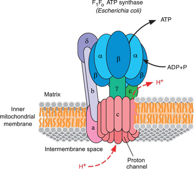 The irreducibly complex ATP Synthase nanomachine, amazing evidence of design 7660ATP-synthase-machine