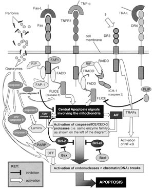 Apoptosis, Cell's essential mechanism of  programmed suicide points to design 5467fig1