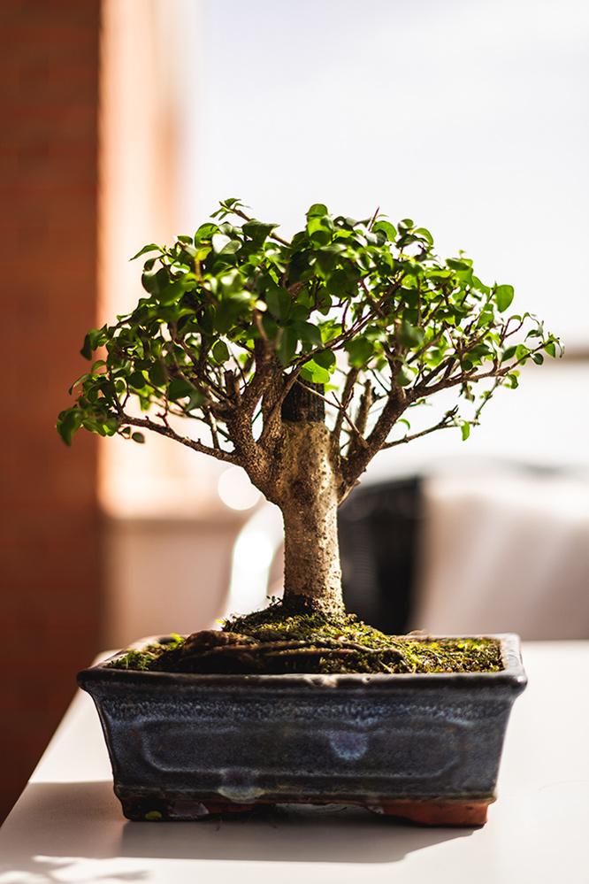 Ayuda con nuevo bonsai Aaa