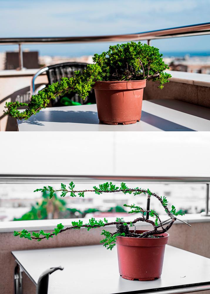 Pre-bonsai Junipero  Ambos