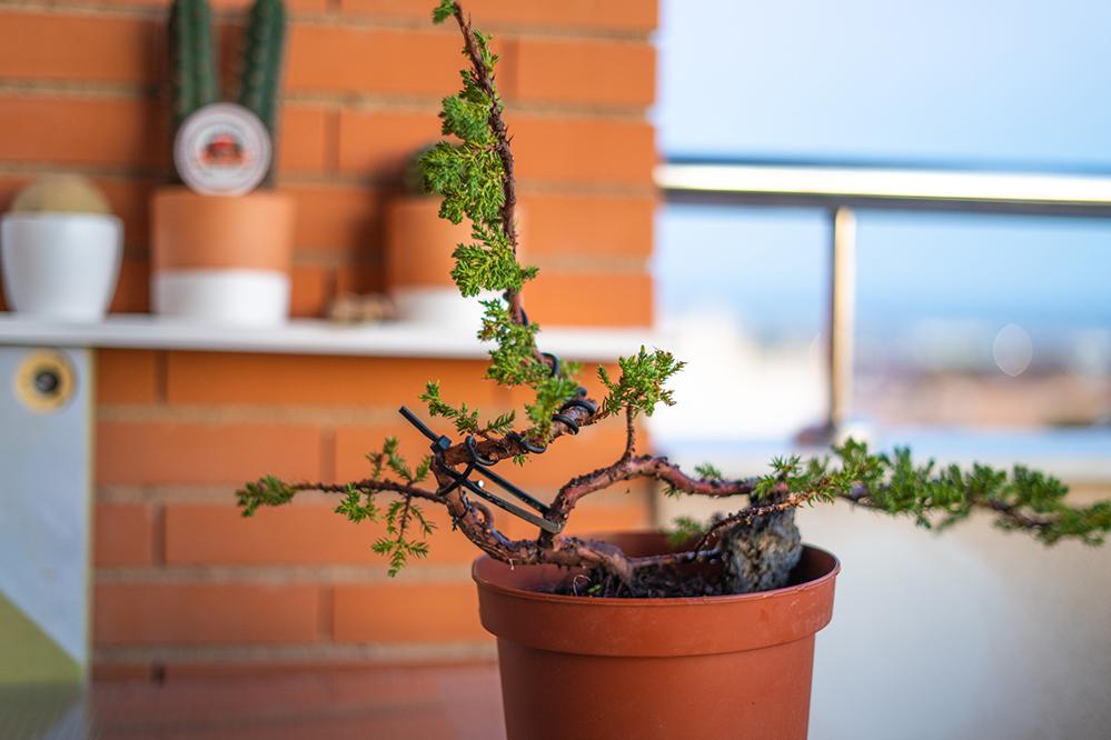 Pre-bonsai Junipero  J1