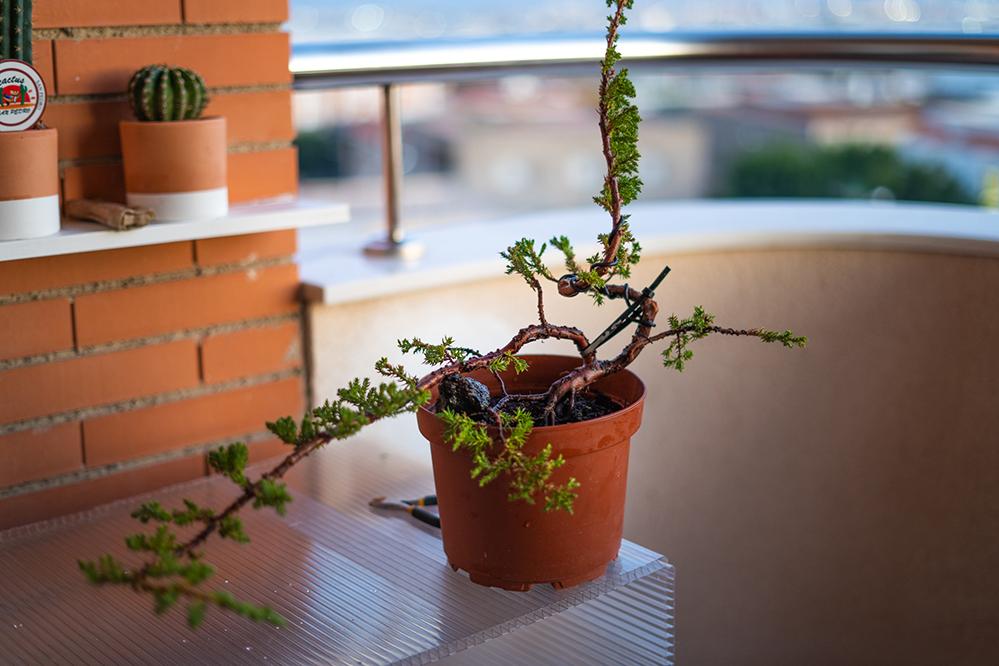 Pre-bonsai Junipero  J2