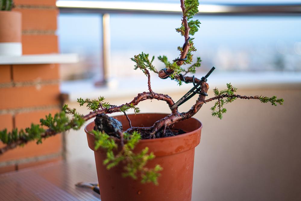 Pre-bonsai Junipero  J3