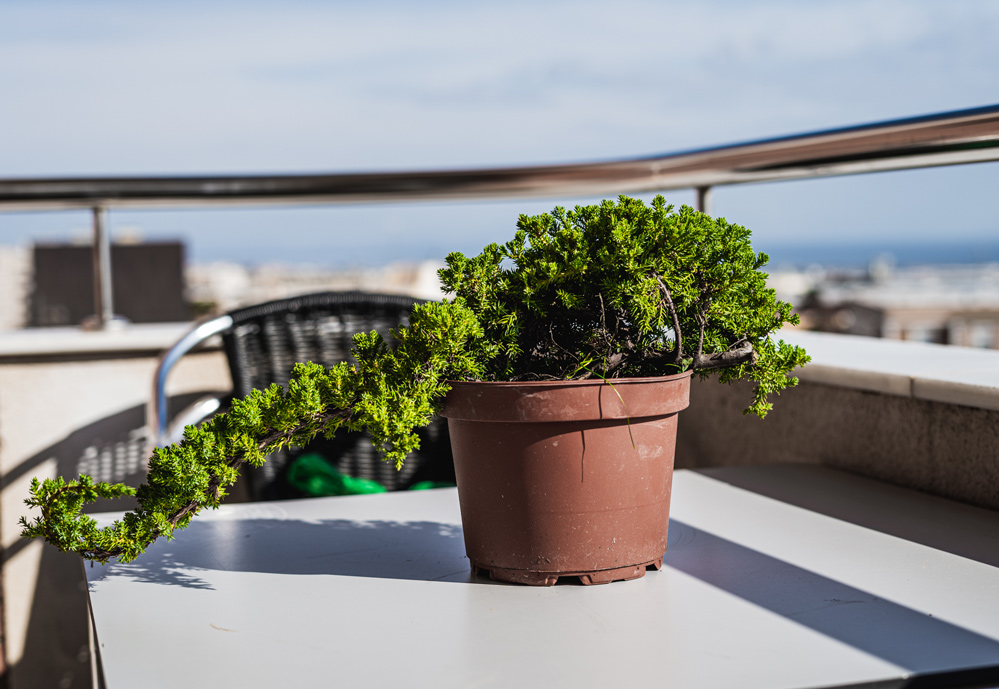 Pre-bonsai Junipero  Juni