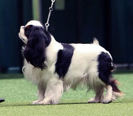 Crufts Dog Show - Страница 7 2012_KCS_BOB