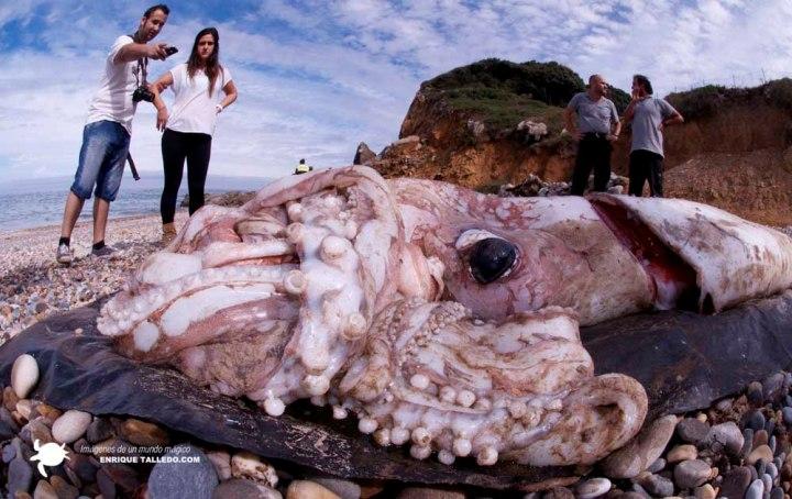 Странные болезни и явления Giant-squid-enrique-talledo1