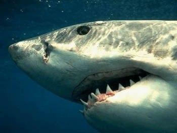 валтея - Самый сильный детёныш тигровой акулы пожирает внутри матери всех братьев и сестер и рождается готовый к самопропитанию. X_a518be16