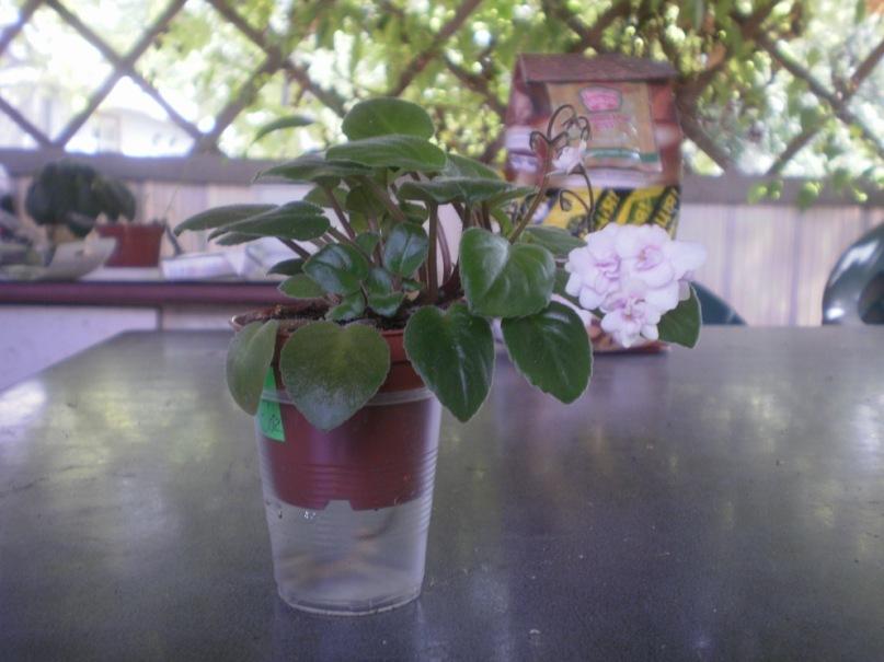 Сенполия- узамба́рская фиа́лка. Y_49cca33f