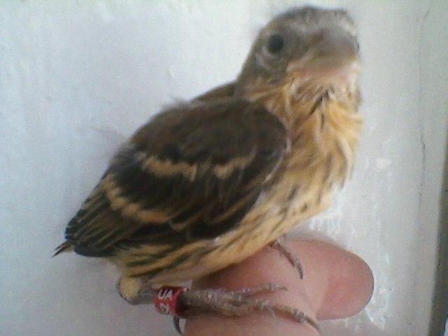 Гибридизация канарейки с отечественными видами вьюрковых птиц. Y_d8119cf3