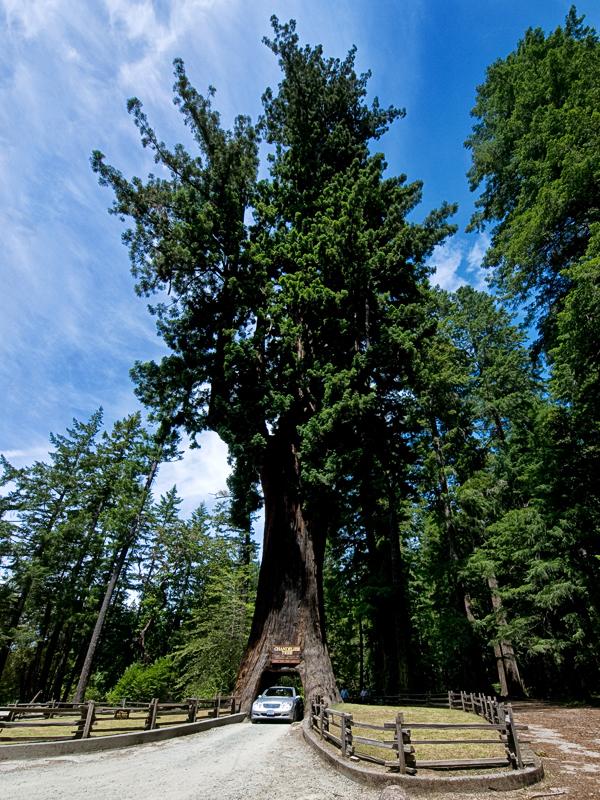 Séquoia Géant 20100623_3891