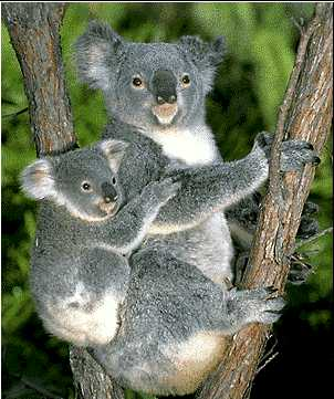 Quiero ver... - Página 10 Austrailian-Koala-Bears
