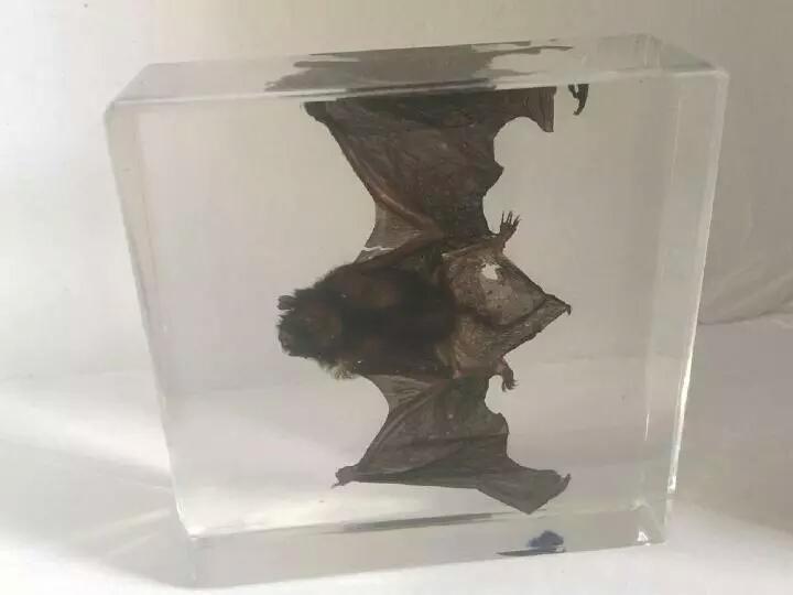 خفاش للبيع  محفوظ داخل زجاجة بشكل احترافي P_407ty5fy1