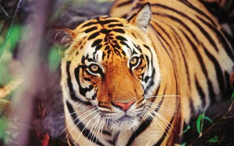 Đối Mặt Hổ Trong Nhà Vệ Sinh Nữ Tiger