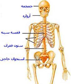 عکس اسکلت انسان Skeleton1