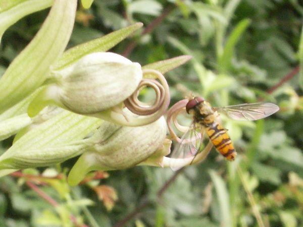 Himantoglossum hircinum  ( Orchis bouc ) Himantoglossum_hircinum_01