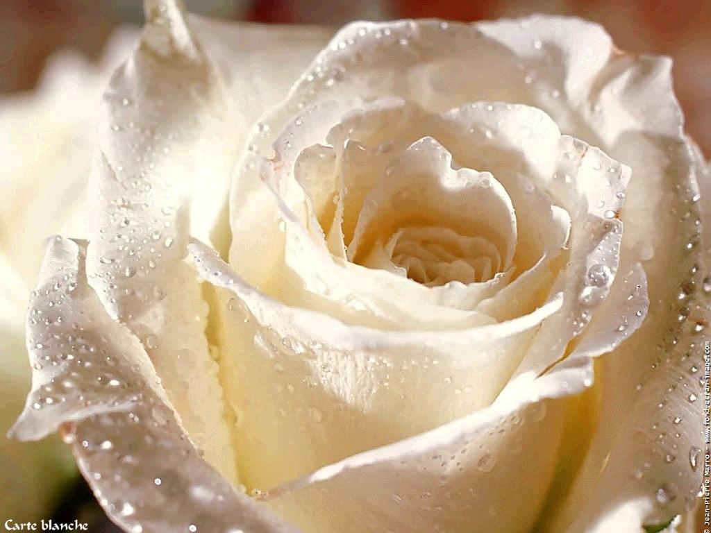 La Rose Blanche 9bfe9f48