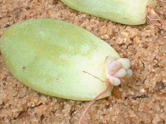 Question sur mon echeveria Bouture-feuilles-sedum.Treleasii
