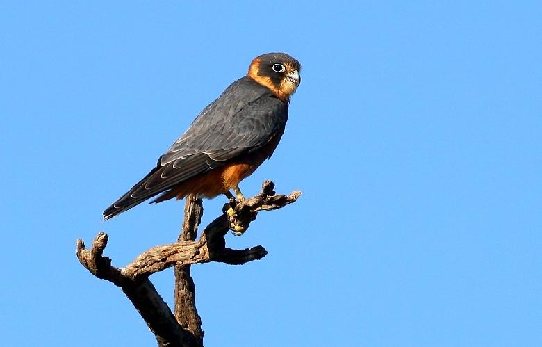 Falconiformes. sub Falconidae - sub fam Falconinae - gênero Falco - Página 2 20070326183937_australian-hobby