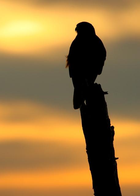 Falconiformes. sub Falconidae - sub fam Falconinae - gênero Falco 20070625142959_brown-falcon