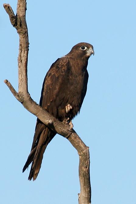 Falconiformes. sub Falconidae - sub fam Falconinae - gênero Falco - Página 3 20070723180934_black-falcon