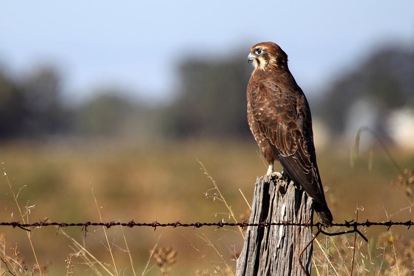 Falconiformes. sub Falconidae - sub fam Falconinae - gênero Falco 20090418111051_brown-falcon