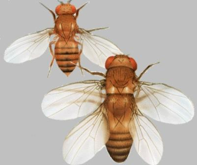 Control of Gene Expression, and gene regulatory networks  point to intelligent design Fruitfly1