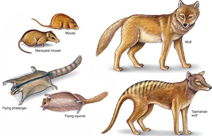 Convergence, another problem for evolution Marsupials