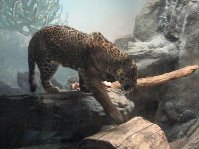 Jaguar venezuelano VS Leopardo macho monstro - Página 2 Jaguar_stepping