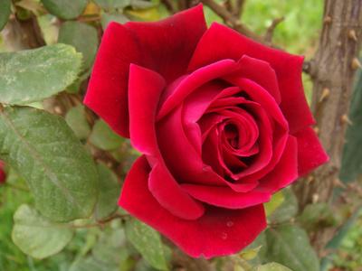 TRANDAFIRUL ROSU  Trandafir_rosu_400
