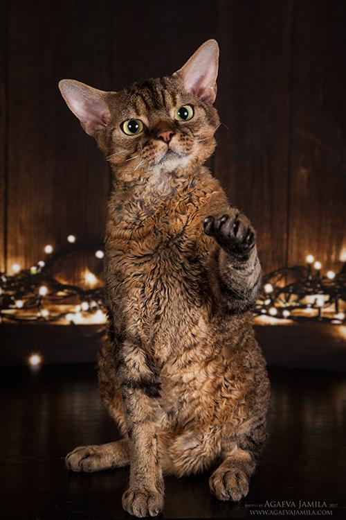 Котята в питомнике Larchik IMG_7161mini