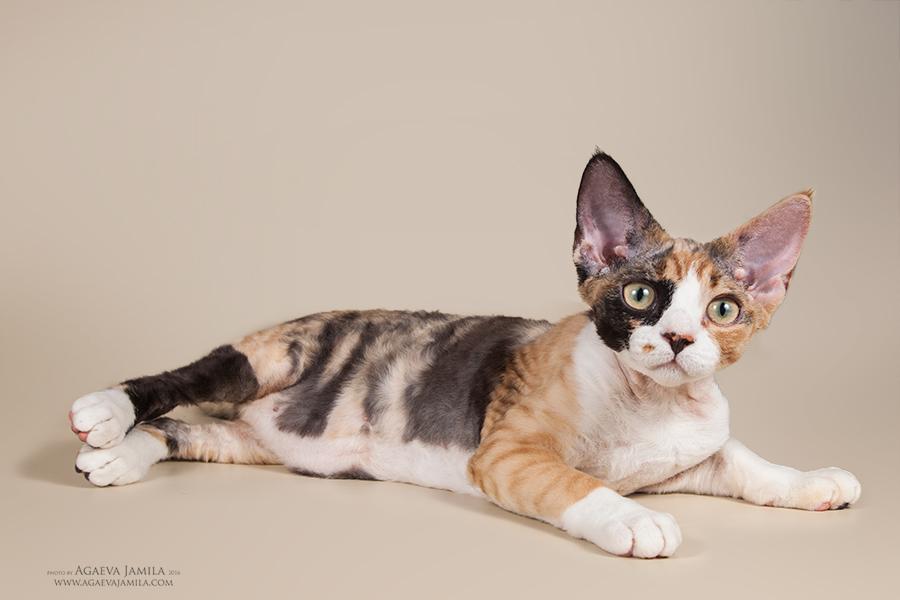 Котята в питомнике Larchik IMG_2490mini