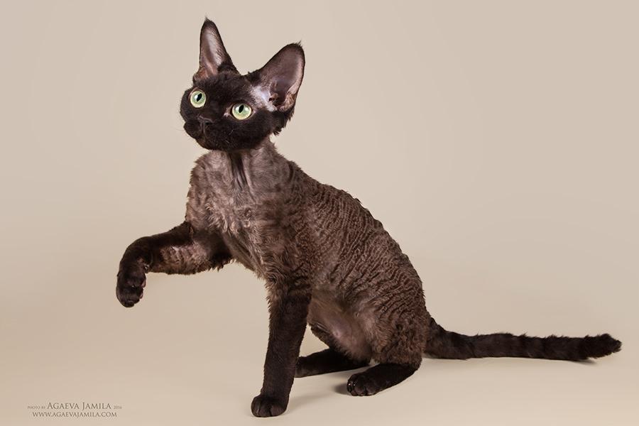 Котята в питомнике Larchik IMG_2426mini