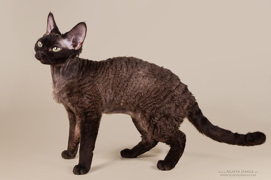 Котята в питомнике Larchik IMG_2435mini