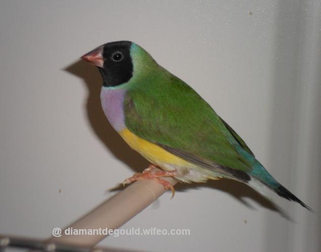 oiseau Martin 6 avril trouvé par Martine Femelle-type-classique