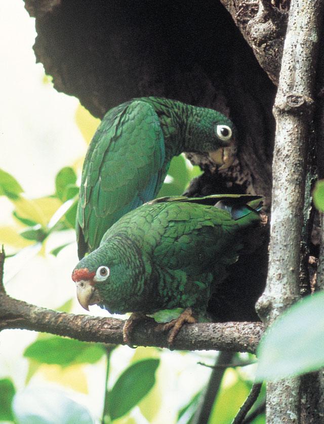 Portorikanski Amazonac - Amazona vittata Amazona_vittata
