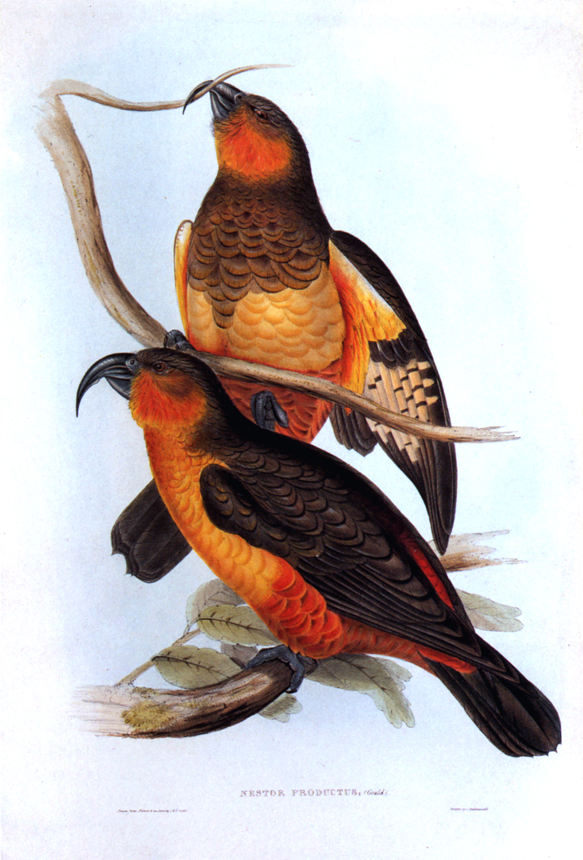 Вымершие и уничтоженные виды попугаев и других птиц John-Gould-001