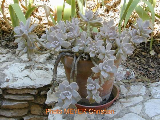 Plante Martine 17/04 - Bravo Ajonc Echeveria048nimescmtr